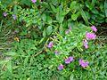 Flowers of a garden plant.jpg