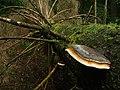 Fomitopsis pinicola wisnia6522.JPG