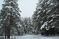 Forest near Ob river in Altai Region 26.JPG