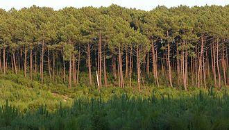 19 June 1857 law - The Landes forest at La Teste-de-Buch