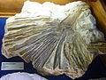 Fossils - Museu Geològic del Seminari de Barcelona 29.JPG