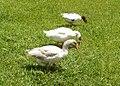 Foto Jardim Botânico de São Paulo 02 patos.jpg