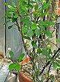 Fouquieria fasciculata 3.jpg