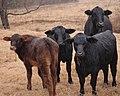Four cows (2154773207).jpg
