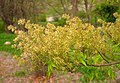 Fraxinus lanuginosa, Arnold Arboretum - IMG 6159.JPG