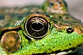 Frog eye closeup.jpg