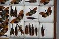 Fulgoridae Drawers - 5036107789.jpg