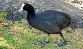 Fulica cristata -Cape Town, South Africa -adult-8.jpg