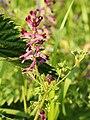 Fumaria officinalis (flowers).jpg