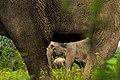 Gajah Sumatra.jpg