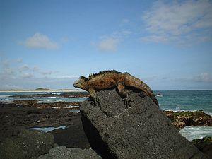 IUCN protected area categories - Image: Galapagos iguana 1