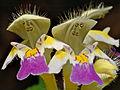 Galeopsis speciosa - blossom (aka).jpg