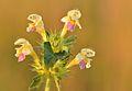 Galeopsis speciosa - kirju kõrvik Keilas.jpg