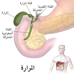 Gallbladder (organ)-ar.png
