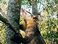 Gambá-de-orelha-branca (Didelphis albiventris).jpg