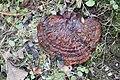 Ganoderma lucidum 69960654.jpg