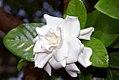 Gardenia jasminoides 8zz.jpg