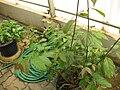 Gardenology.org-IMG 8008 qsbg11mar.jpg