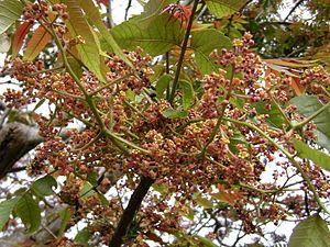 Garuga - Flowering Garuga floribunda