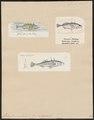 Gasterosteus aculeatus var. D trachurus - - Print - Iconographia Zoologica - Special Collections University of Amsterdam - UBA01 IZ12900005.tif