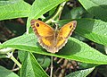 Gatekeeper or Hedge Brown on Buddleia Bush - geograph.org.uk - 1422586.jpg