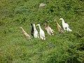 Geese, Greeb Farm, Land's End (2530178489).jpg