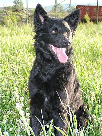 Croatian Sheepdog - An adult Croatian Sheepdog