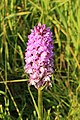 Gevlekte orchis. Orchis (Dactylorhiza maculata subsp. Maculata) 02.JPG