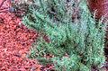 Gfp-desert-willow.jpg