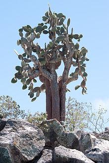 Opuntia echios wikipedia la enciclopedia libre for Cactus exterieur resistant au froid