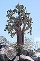 Giant Prickly Pear Cactus (Opuntia echios) - Santa Fe Island - Galápagos Islands - Pacific Ocean - 14 Sept. 2011 - (1).jpg