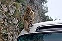 Gibraltar Barbary Macaques BW 2015-10-26 14-10-37.jpg