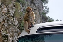Gibraltar Barbary Macaques BW 2015-10-26 14-10-37.jpg