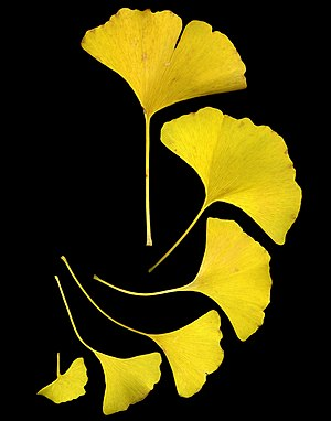 English: Ginkgo leaves shown in their fall col...