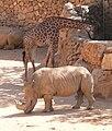 GiraffaRhino-JZ102.jpg