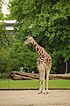 Giraffa at Berlin zoo-2 (2482257161).jpg