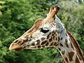 Giraffa camelopardalis rothschildi (head).jpg