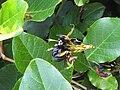 Glen Forrest Kennedia nigricans.jpg