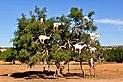 Goats in an argan tree Morocco.jpg