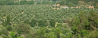 Imbros - Olive groves in Zeytinli