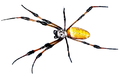 Golden-silk-spider (modified).png
