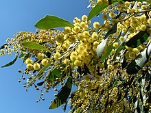 Green leaves and numerous small yellow round flowerheads against the sky