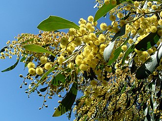 Culture of Australia - Golden Wattle, Australia's floral emblem and the source of Australia's national colours, green and gold