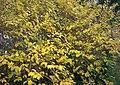 Golden Autumn Leaves, Trenewydd Lane, Llanteg - geograph.org.uk - 1048198.jpg