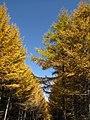 Golden forests at Chongli 崇礼金秋 (8181823681).jpg