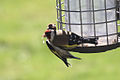 Goldfinches - April 2009 (3411377697).jpg