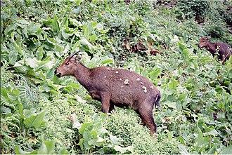 Goral - Image: Goral Girardinia diversifolia AJTJ