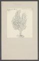 Gorgonia pinnata - - Print - Iconographia Zoologica - Special Collections University of Amsterdam - UBAINV0274 109 02 0017.tif