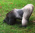Gorilla - Flickr - Andrea Westmoreland.jpg