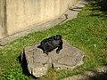 Gorilla Sunning @ San Francisco Zoo (4436352537).jpg